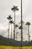 Giant Wax Palms Royalty Free Stock Photography
