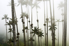 Giant Wax Palms in the Mist Royalty Free Stock Images