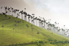 Giant Wax Palms on a Misty Hill Stock Photos