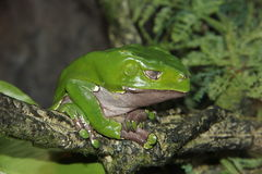 Giant Waxy Monkey tree frog (Phyllomedus bicolor) stock images