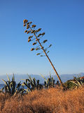 Giant Agave Weed, Falling Down Stock Photos