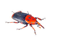 Giant weevil. On a white background Stock Photo