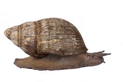 Giant West African snail,Archachatina marginata. The Giant West African snail,Archachatina marginata, is the largest snail species in the world. Originally from Stock Photos
