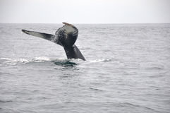 Giant Whale Tail. A giant whale tail in the Bay of Fundy, Digby, Nova Scotia. In the summer, whales swim to this area for food, and they will head off to stock image