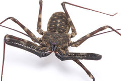 Giant whip scorpion (Damon medius) Royalty Free Stock Images