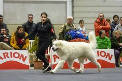 Giant white dog marching in a contest with its owner stock photography