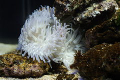 Large white sea anemone. Close up of a large, white sea anemone on the sea bottom.  Scientific order:  Actiniaria Stock Photo