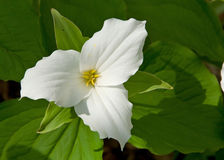 Giant White Trillium. Photograph of a nicely framed White Trillium against a background of green leaves Stock Photo