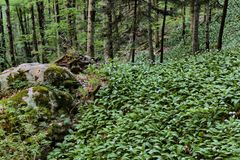 Giant wild garlic carpet near Galbena stream in Transylvania, R royalty free stock photography