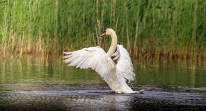 The giant wing span of the white Mute Swan. The large White Swan was just starting to fly away as it was spooked by a sound while floating on the pond. The wing stock photo