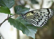 Giant Wood Nymph Butterfly on leaf Stock Photography