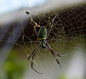 Giant wood spider Royalty Free Stock Photography