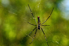Giant Wood Spider Stock Photos