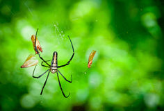 Giant Wood Spider Stock Photography