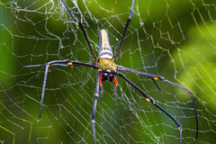 Giant wood spider Stock Image