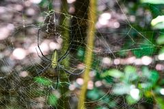 Giant Wood Spider in forest Indonesia. Photo taken August 2017 in Indonesia Stock Images