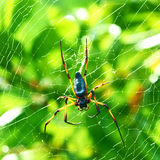 Giant Wood Spider - Nephila Maculata / Nephila Pilipes
