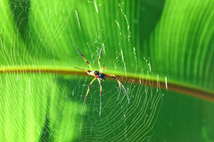 Giant wood spider - Nephila maculata / nephila pilipes Royalty Free Stock Photo