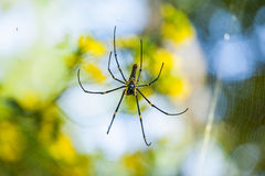 Giant Wood Spider Stock Images
