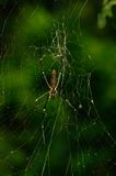 Giant wood spider, Sikkim , India. A Giant wood spider waiting for its prey on a sunny day Royalty Free Stock Image