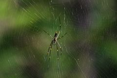 Giant Wood Spider on the Web Royalty Free Stock Photos