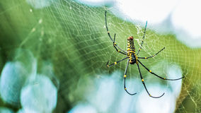 Giant Wood Spiders Royalty Free Stock Photos