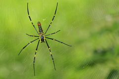 Giant woods spider (female ) back view. Royalty Free Stock Images
