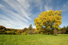 Giant yellow autumn tree Stock Photography