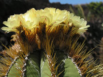 Giant yellow cactus flower Royalty Free Stock Photos