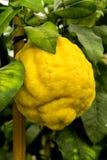 Giant yellow cedro cedar fruit - Citrus medica Royalty Free Stock Photos