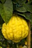 Giant yellow cedro cedar fruit Stock Photos