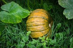 Giant yellow and green pumpkins between big green leafs growing royalty free stock image
