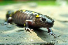 Giant Yellow Spotted Salamander royalty free stock photography