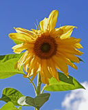Giant Yellow sunflower head against a vibrant blue sky Royalty Free Stock Photo