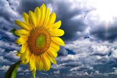 Giant Yellow Sunflower in  the Sky Royalty Free Stock Images