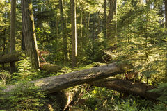Free Giants And Saplings In Cathedral Grove Stock Images - 58273074