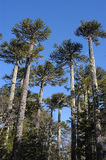 Giants araucaria Royalty Free Stock Image