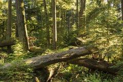 Giants e rebentos no bosque da catedral Imagens de Stock
