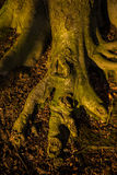 The giants foot. Tree root resembeling a giants foot Royalty Free Stock Photo