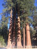 GIANTS SEQUOIAS Royalty Free Stock Images
