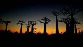Giants at sunset. Silhouette of baobab trees in Morondava, Madegascar, just after sunset royalty free stock photo