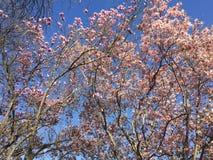 Giapponese Cherry Blossom in Washington DC Fotografie Stock