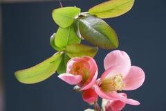 giapponese del fiore dell'albero di cotogna Fotografie Stock