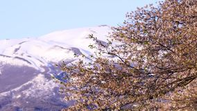 Giapponese sakura stock footage
