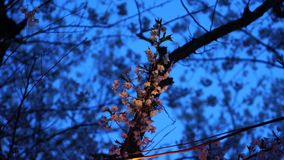 Giapponese Sakura alla notte archivi video