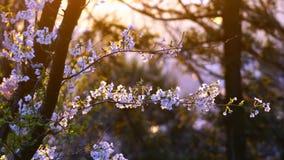 Giapponese Sakura During Sunset stock footage
