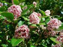 Giapponese Skimmia, fioritura di rosolia di japonica di Skimmia Fotografia Stock