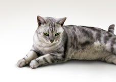 Giapponese Tabby Cat Immagine Stock Libera da Diritti