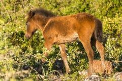 Giara Horse, Sardinia. Wild pony that lives in the plateau called Giara di Gesturi, in the centre-Sardinia, Italy Stock Photography
