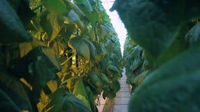 Giardinaggio dei cetrioli in grande serra, piantando affare delle verdure archivi video